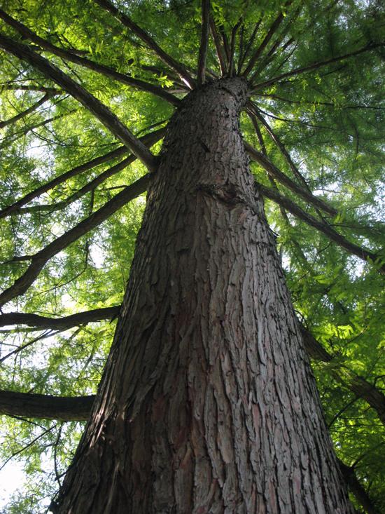 CypressTrunkleanWEB